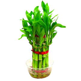 buy 2 Layer Lucky Bamboo same day delivery in kanpur