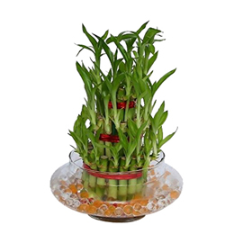 buy 3 Layer Lucky Bamboo Plant same day delivery in kanpur