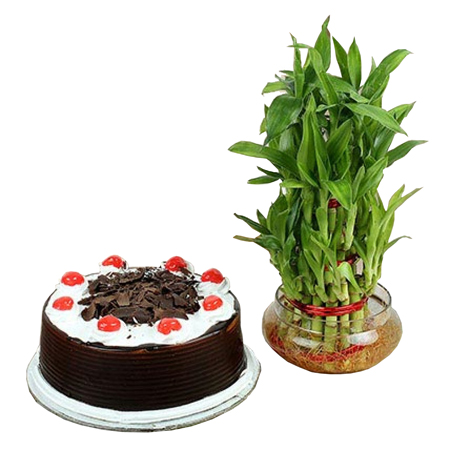 Send online black forest cake n 2 layer lucky bamboo combo in kanpur